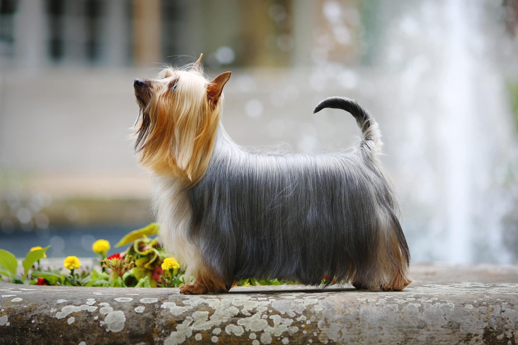 Australian Silky Terrier seitlich