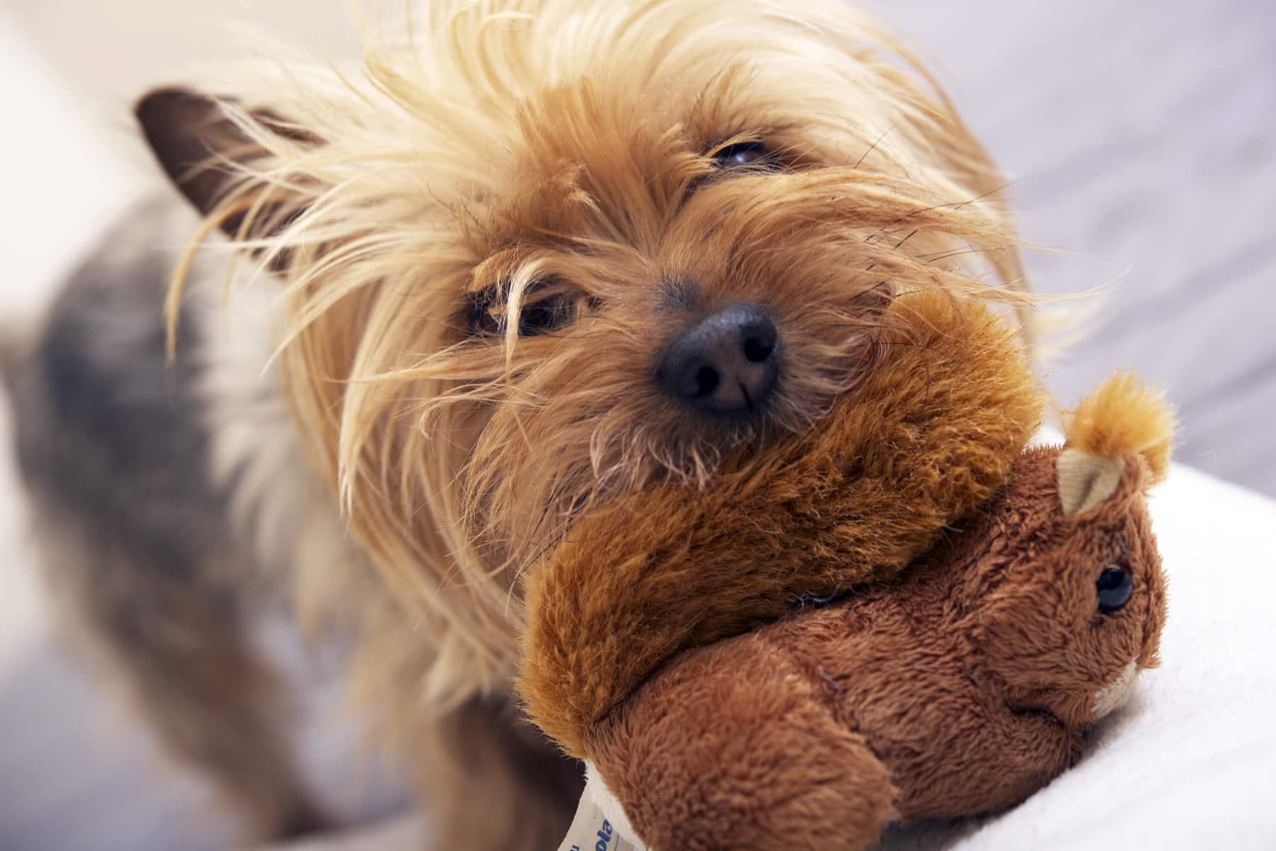 Australian Silky Terrier spielt