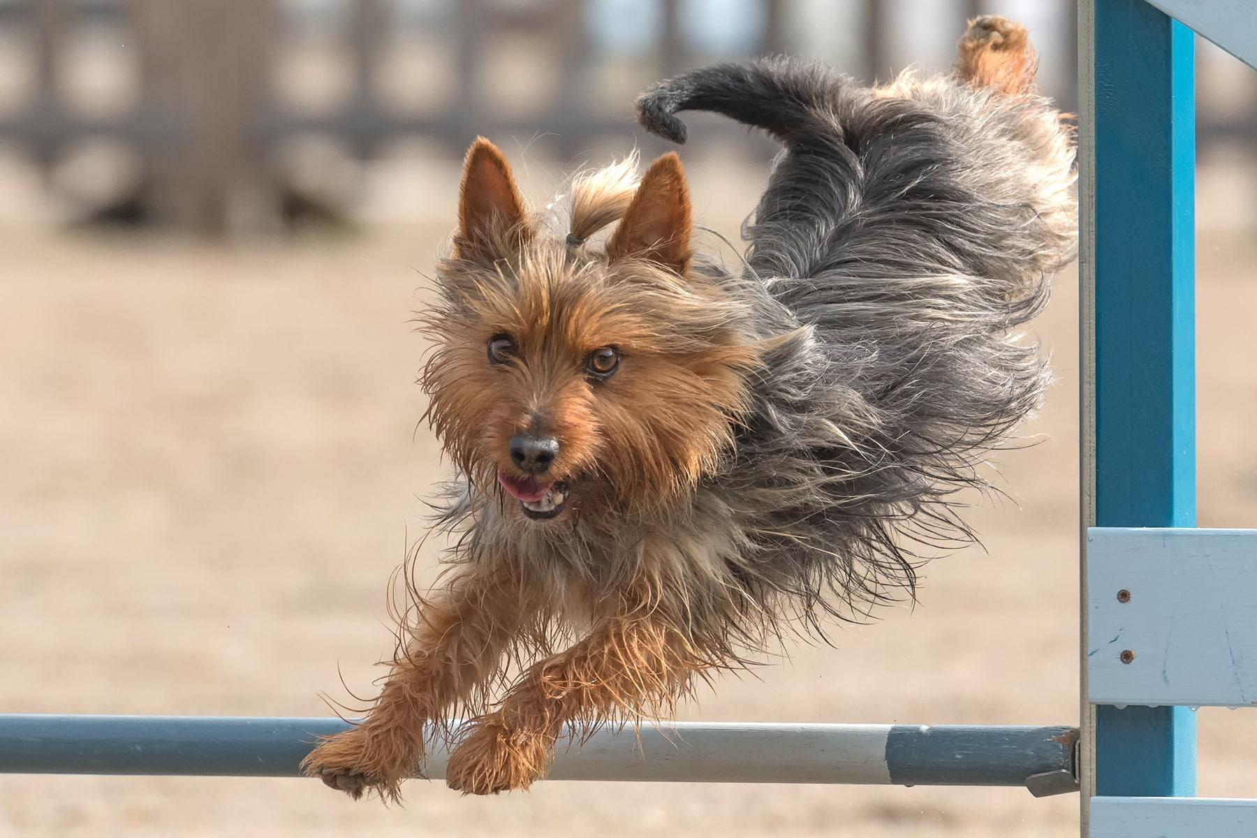 Australian Silky Terrier springt