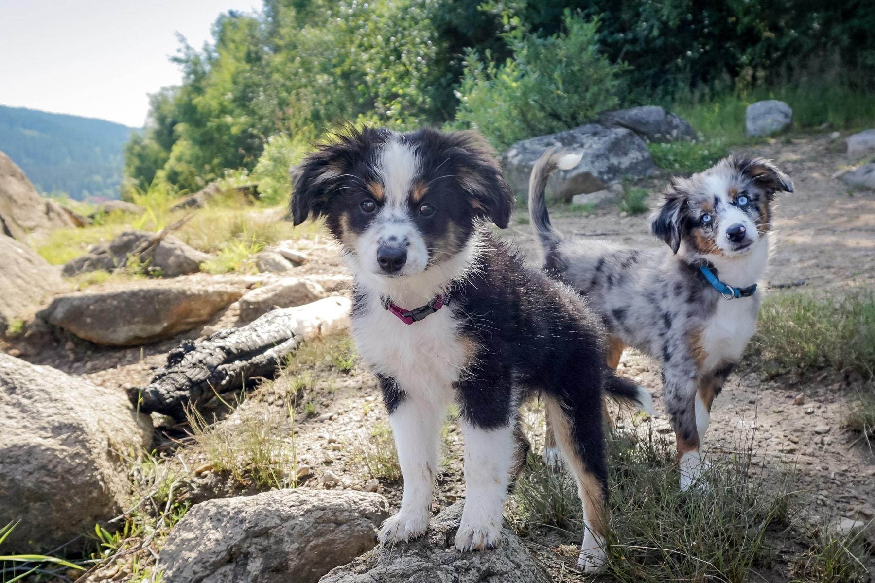 Zwei Mini Australian Shepherd