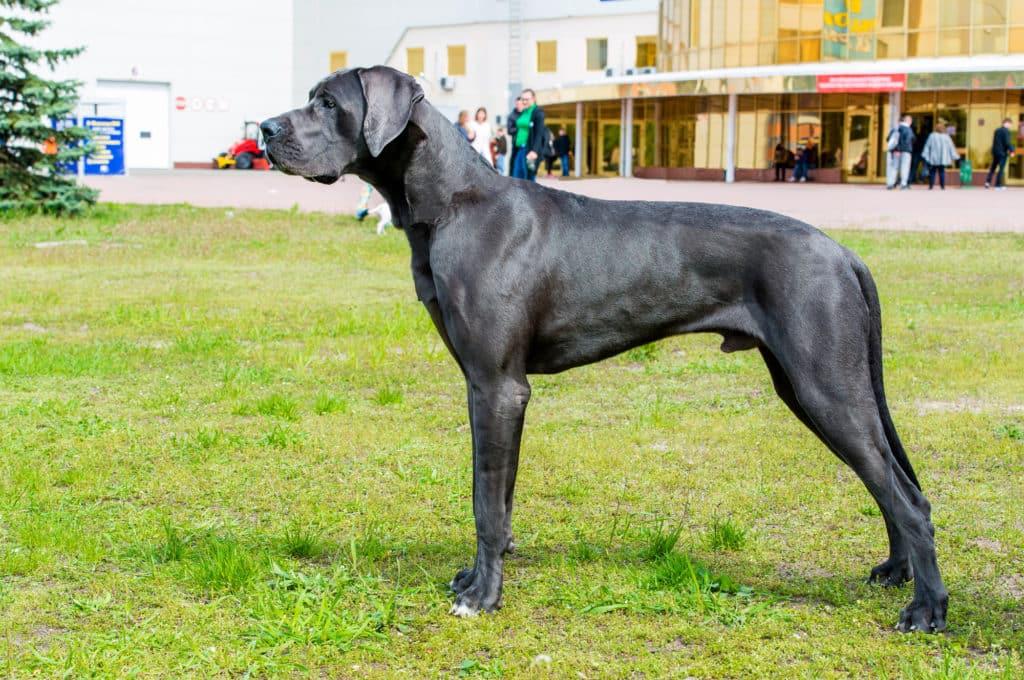 Deutsche Dogge 2