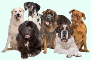 Größte Hunde der Welt