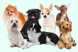 Kleinste Hunde der Welt