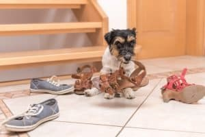 Hund Knabbern Schuhe