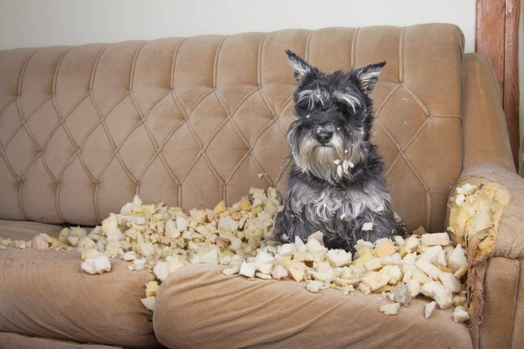 Hund Knabbern Sofa